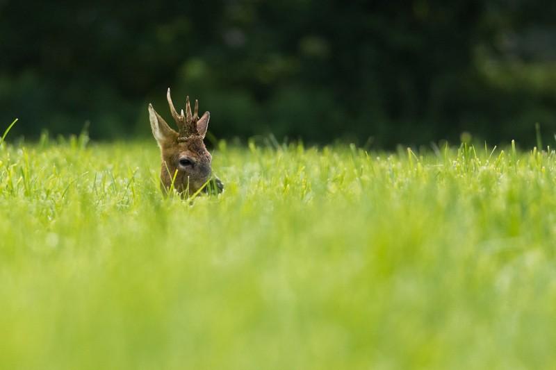 Les chevreuils, le lièvre et la photographe