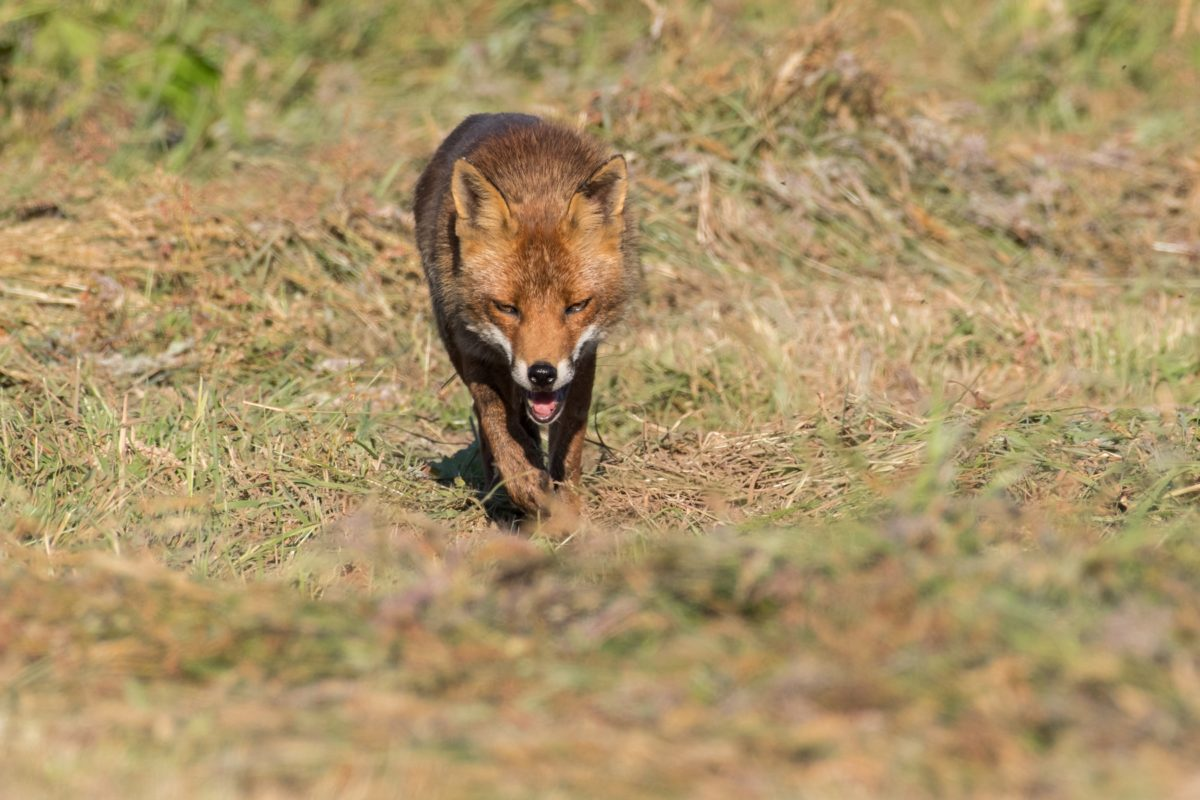le renard arrive vers moi, à pas de loup !