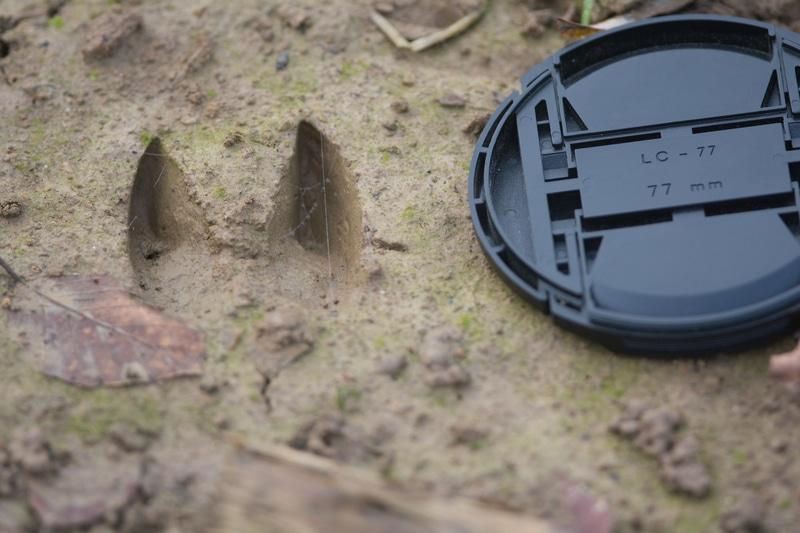 Voici une empreinte de sanglier, elle est plus grande que celle du chevreuil, de 5 à 8 cm. Elle est aussi beaucoup plus ronde et les ongles sont plus écartés. Notez qu'ici les gardes ne sont pas marquées.