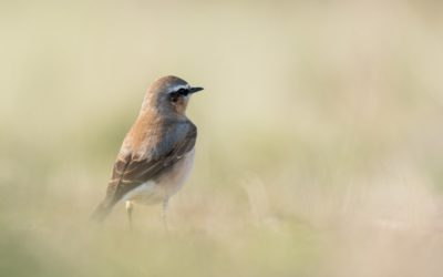 Les oiseaux du marais d'Ault