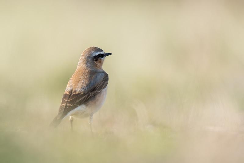 oiseaux - Traquet motteux