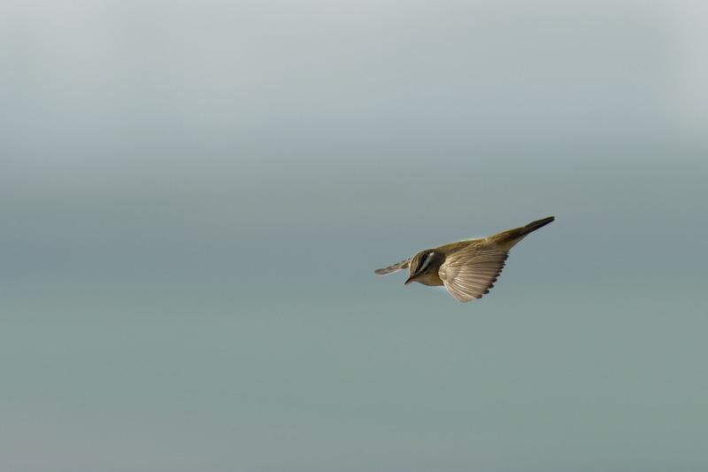 Oiseau - phragmite en, vol