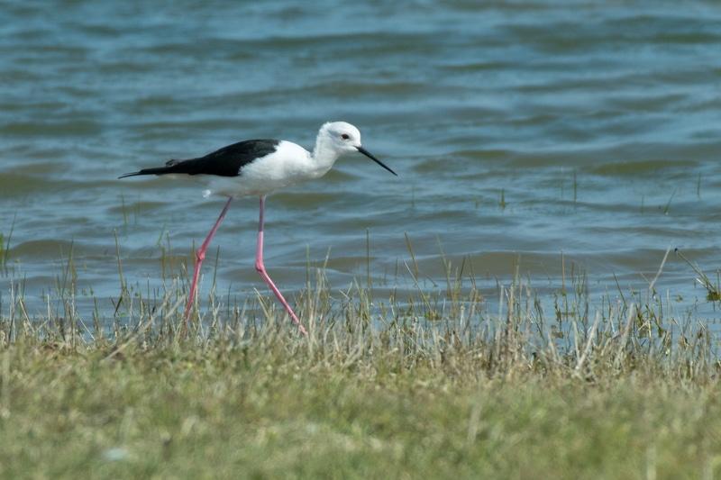 oiseaux - Echasse blanche