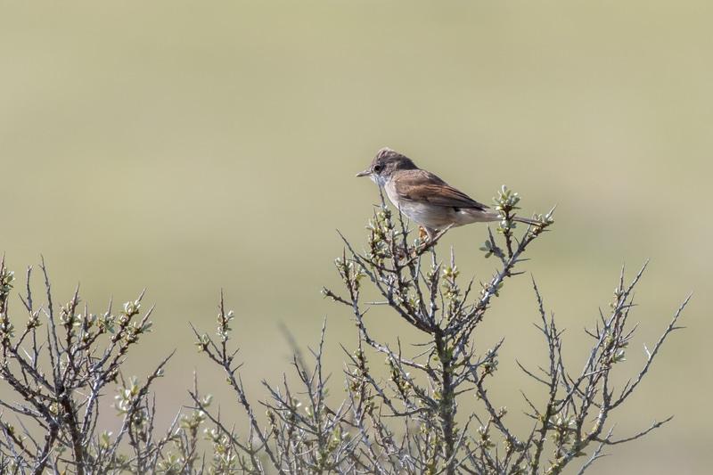 Oiseaux - Fauvette grisette