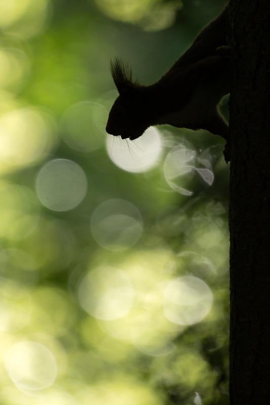 écureuil en ombre chinoise