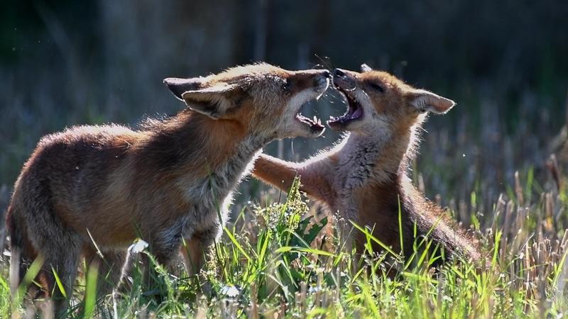 scène d'éducation d'un jeune renardeau par un adulte