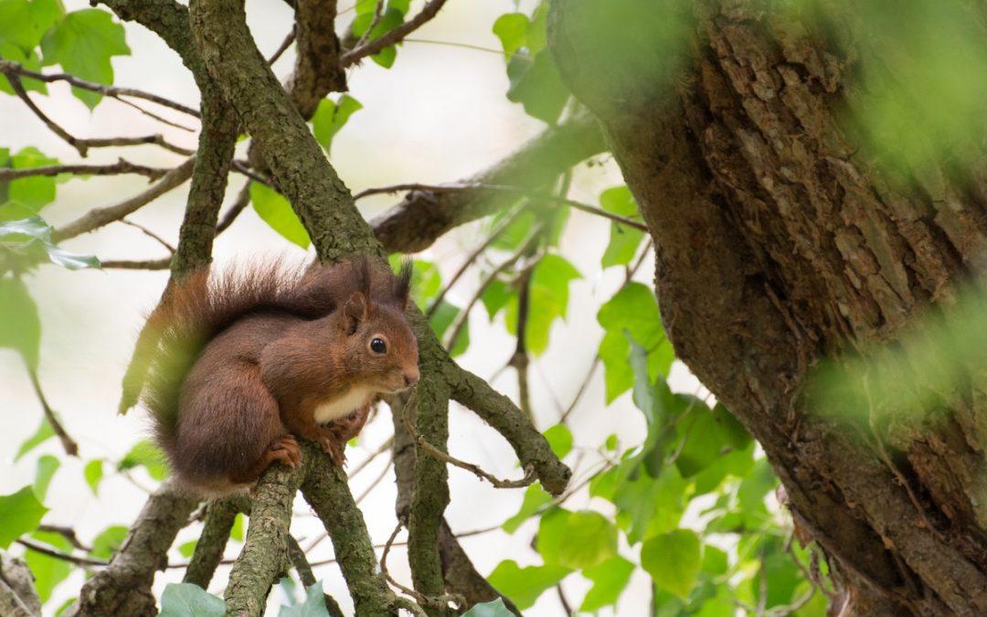 Photographier l'écureuil roux d'Europe